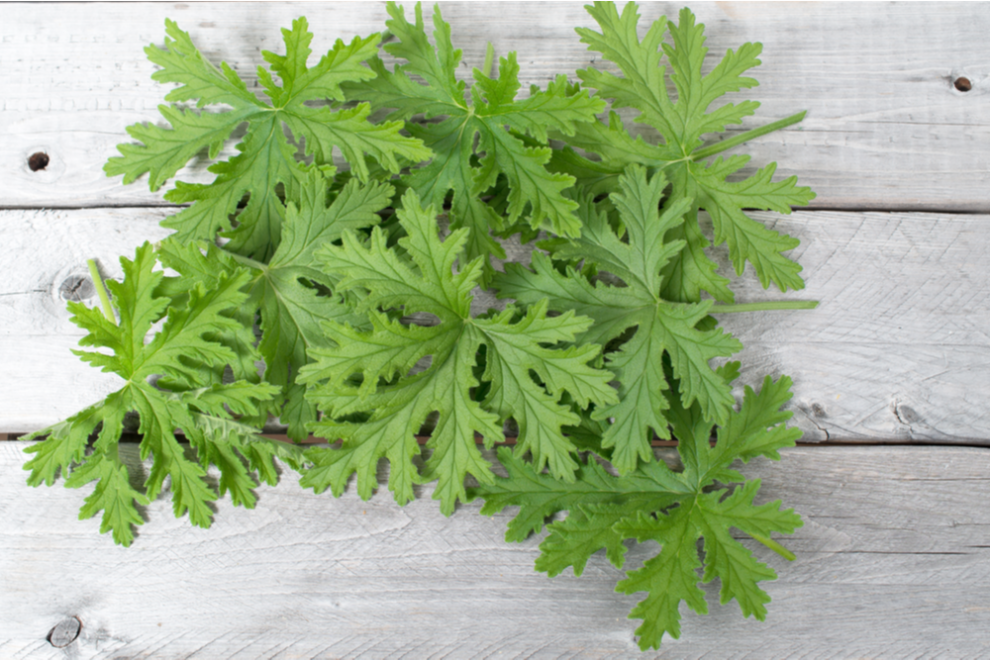 5 Plants that Repel Mosquitoes
